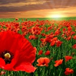 sunset-over-a-field-of-poppies-295798